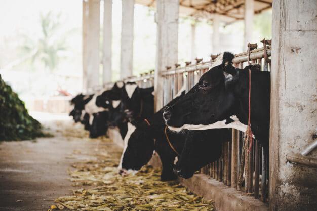 بیست نکته مهم در پرورش گاو شیری
